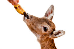 Person feeding deer Royalty Free Stock Images