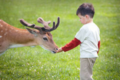 feeding deer  Royalty Free Stock Photo