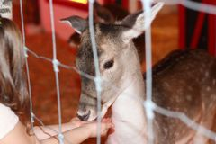 Feeding a deer behind the fence Stock Photography