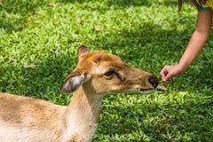 Feeding deer Stock Photography