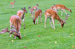 Feeding deer. Deers eating apples scattered on green grass Stock Photography