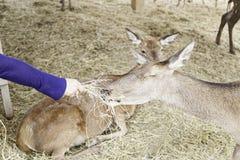 Feeding deer Stock Photos
