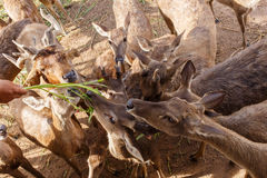 Feeding a deer Stock Image