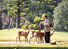 Feeding deer in Nara, Japan 1 Royalty Free Stock Photo