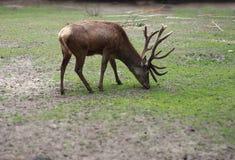 Feeding deer Royalty Free Stock Images