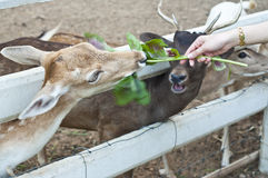 Feeding deer. Royalty Free Stock Photo