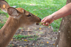 Feeding a deer Royalty Free Stock Photography
