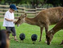 Feeding Deers Stock Images