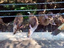 Feeding Deers. Cute deers eating together in Nara Deer Park Stock Photos