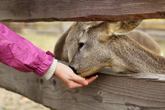 Feeding deers at a farm Royalty Free Stock Photo