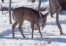 Feeding doe. This mature doe feeds on a leaf royalty free stock images