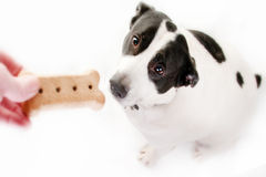 Feeding dog a treat. Dog getting fed a treat royalty free stock images
