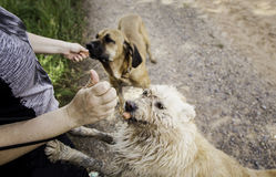 Feeding dogs meat in nature Stock Image