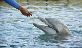 Feeding dolphin. Animal trainer feeding a dolphin at a holiday resort Stock Photography