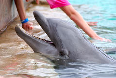 Feeding dolphin. Dolhin sumerging in water with hands feeding Stock Image