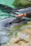 Feeding dolphin Stock Photo