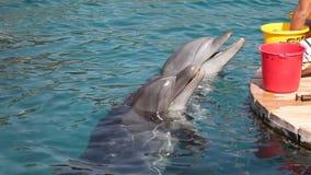 Feeding dolphins stock footage