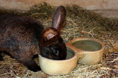 Feeding the domestic rabbit Royalty Free Stock Images