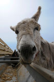 Feeding Donkey Royalty Free Stock Photography