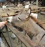 Feeding donkey at the farm (zoo) Royalty Free Stock Photography