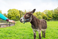 Feeding donkey in field. Carrot on palm of a hand proffered  to donkey standing in a green field, trees in background Royalty Free Stock Image