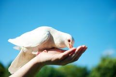 Feeding a dove Stock Photos