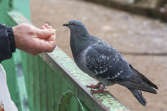 Feeding a dove Stock Photography