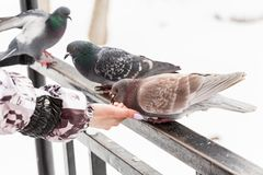 Feeding doves with their fingertips. Winter day in the city Park.  royalty free stock photography