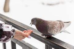 Feeding doves with their fingertips. Winter day in the city Park.  stock images