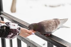 Feeding doves with their fingertips. Winter day in the city Park.  stock photography