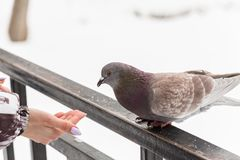 Feeding doves with their fingertips. Winter day in the city Park.  stock photo