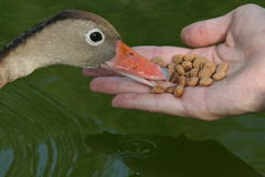 Feeding the Duck. A man feeds an eager duck Stock Photo
