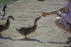 Feeding Ducks 1 Stock Images