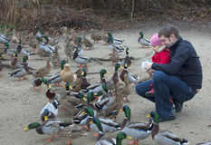 Feeding the ducks Stock Photo