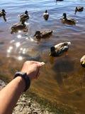 feeding ducks Royalty Free Stock Photo