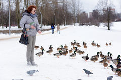 Feeding the ducks left for the winter at the creek. In the city of St. Petersburg, Russia Stock Image
