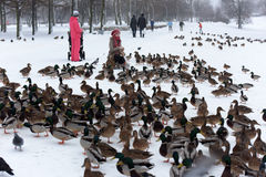 Feeding the ducks left for the winter at the creek. In the city of St. Petersburg, Russia Stock Photo