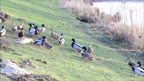 Feeding ducks mallard in the nature in winter near a river stock video