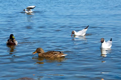 Feeding ducks on the river. Royalty Free Stock Photos