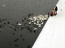 Feeding ducks and swans. A local family feeding ducks, swans and water fowl in Krakow, Poland Stock Images