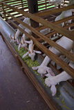 Feeding or eating time for a group of goats in a farm barn Royalty Free Stock Photo