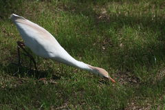 Feeding Egret Royalty Free Stock Photography
