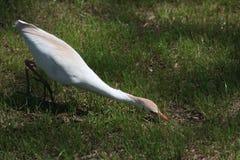 Feeding Egret royalty free stock photography