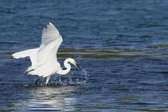 Feeding Egret Royalty Free Stock Image