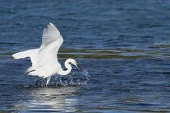Feeding Egret Royalty Free Stock Image