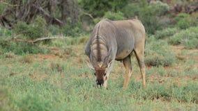 Feeding eland antelope stock video