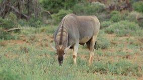 Feeding eland antelope stock video footage