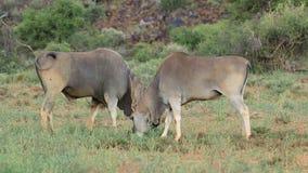 Feeding eland antelopes stock video