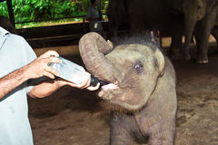 Feeding elefant baby with milk. Elefant Baby gets Milk from the keeper stock photo