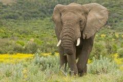 Feeding elephant Royalty Free Stock Photography